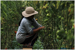 Climate change resilience - The greenhouse (kamesvara) Tags: bali greenhouse buyan buleleng