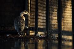 Grey Heron, London (Daniel Trim) Tags: urban bird london heron birds animal grey wildlife birding ardea royalparks cinerea
