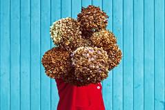 Rosanna (battista ferrero) Tags: portrait flower garage fiori rosso ritratto rosanna ortensia castellinaldo ortensie senzatesta battistaferrero retulip