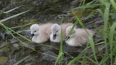 _X5C7956 (carlo612001) Tags: swan chick cigno pulcino