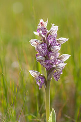 Neotinea lactea (macropoulos) Tags: flower backlight greece orchidaceae crete gr backlit wildflower rethymno canoneos5d orhid canonef100mmf28macrousm asparagales neotinea milkyorchid neotinealactea