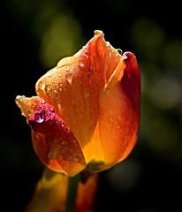 look at me before I am gone... (Ralf Pelkmann) Tags: red orange fleur yellow nikon pattern bright bokeh waterdrops