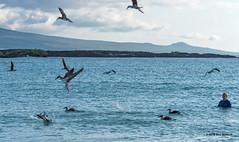 Galapagos-San Cristobal-Blue Footed Bobbie Feeding Frenzy (dfbphotos) Tags: spring ecuador nikon places galapagos sancristobal april sa 2016