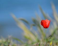 Theraphy (Agath (Sonia)) Tags: flowers red sea plants sun spring nikon riviera mare colours blu poppy fiori rosso romagna papavero casalborsetti nikonnikkor70300 nikond3100