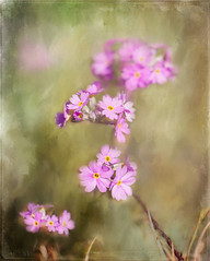 Pink May flower (BirgittaSjostedt.) Tags: plant flower art texture nature spring paint outdoor unique may ie primula legacy primulafarinosa magicunicornverybest birgittasjostedt
