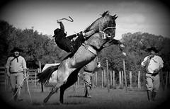 Thiago Passos (Eduardo Amorim) Tags: brazil horses horse southamerica brasil criollo caballo cheval caballos cavalos pferde cavalli cavallo cavalo gauchos pferd riograndedosul pampa hest hevonen campanha brsil chevaux gaucho  amricadosul bag fronteira hst gacho  amriquedusud  gachos  sudamrica suramrica amricadelsur  sdamerika crioulo caballoscriollos criollos jineteada   americadelsud gineteada  crioulos cavalocrioulo americameridionale caballocriollo eduardoamorim cavaloscrioulos