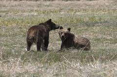 20160512_GrandTetonNP_9925-1 610'sYearlings (Martine Yen) Tags: bears grandtetonnationalpark