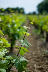 201607513 (Klaus Harbo) Tags: vin bourgogne beaune