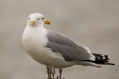 Dubbele focus (double focus) (Jaap Vette) Tags: seagulls holland bird nature netherlands dutch birds animal animals fauna focus seagull nederland vogels natuur dieren dier vogel velp