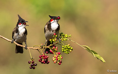 Yummy (achuaniaku) Tags: red india birds berry bulbul redwhiskeredbulbul d610 300mmf4 bengaluru