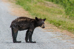 bear-4266 (cjnewlife12) Tags: bear baby nature wet outdoors northcarolina blackbear alligatorriverwildliferefuge