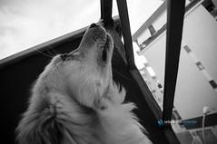 anche per me arriva la sera...pens Freud...guardando quel cielo stellato e sincero... (Sebastiano Milardo Italy www.sebastianomilardo.it) Tags: dog ritratto mydog vita mypet cani freud30maggio2016