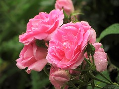 Stay where you are! (Explore 06/16/2016) (BreezyWinter) Tags: pink flowers roses summer plants usa flower wet fleur colors rain june rose america canon garden pretty poem natur beaty raindrops freshness patriziacavalli