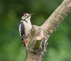 GSW-Juv-0008 (Kulama) Tags: summer nature birds woods woodpecker westsussex wildlife greatspottedwoodpecker gsw canon7d sigma150600c563