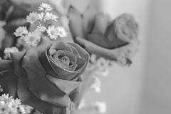 IMG_4166 (Josy'ta) Tags: rose rosas rosascolombianas flowers flores flor diadosnamorados love