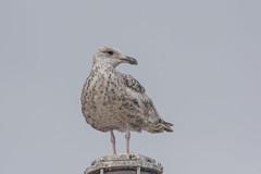 Great black-backed gull (katyarud) Tags: travel bird birds larusargentatus usedom greatblackbackedgull larusmarinus laridae  charadriiformes    europeanherringgull