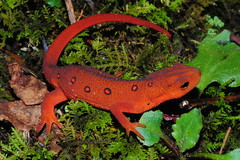 Red Spotted Newt Eft  - Notophthalmus viridescens viridescens (bolickscott) Tags: red cute nature contrast forest moss tn bright vibrant wildlife spot salamander spots spotted poison juvenile newt herp eft poisonous herpetology notophthalmus mander redspotted viridescens herping mandering