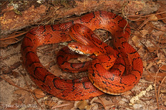 Corn Snake (Pantherophis guttatus) (Jake M. Scott) Tags: canon outside outdoors corn florida snake wildlife sigma herp elaphe herps floridawildlife guttatus jakescott fieldherping pantherophis getoutside herping