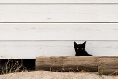cucussettete. (an.thoniee) Tags: wood white black cat kitten gatto bianco nero legno gattini lidoverdemare