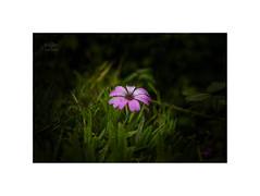 Glow in the dark..... (silver/halide) Tags: flowers flower john baker d750 waterdrops niftyfifty