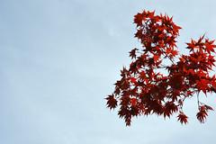 Reaching Out Where Once Were Many (Sotosoroto) Tags: seattle renton lakeridge washington tree maple branch