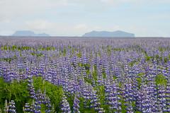 Iceland: Lupines at Eyjafjallajkull (jeanmariehoward) Tags: iceland lupines eyjafjallajkull nikon nikond600 nikonphotography