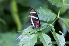 papillon (carlo612001) Tags: nature colors butterfly natura colori farfalla elegance eleganza oasidisantalessio