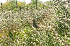Corncrake (thesetter) Tags: scotland alba tiree isleoftiree crake wildbird corncrake crexcrex landofcorn