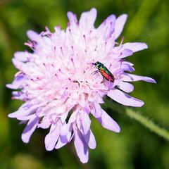 kznsges virgdszbogr / Anthaxia fulgurans (debreczeniemoke) Tags: summer plant flower field female insect meadow virg scabiosa medicinalplant insecta fieldscabious nyr caprifoliaceae dipsacaceae nvny rovar mez knautiaarvensis ackerwitwenblume rt wiesenwitwenblume scabieusedeschamps anthaxia gygynvny wiesenskabiose mezeivarf nstny knautiedeschamps kelsf rhf mucatadracului nhkisselchen mcsonyaflk loncflk mucatuldracului olympusem5 anthaxiafulgurans fleckhalsprachtkfer dszbogr kznsgesvirgdszbogr