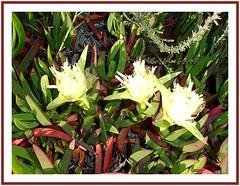 Tres flores silvestres de ua de gato. (margabel2010) Tags: flores verde hojas rojo flora uadegato blancoyrojo florasilvestre blancoyverde floracostera