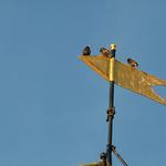 Starlings on St Andrews Castle weathervane thumbnail