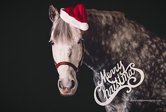 Merry Christmas (purple horse designs) Tags: santa christmas portrait horse hat animal canon holidays equestrian equine 70200mm merryxmas percheron friesian 70d