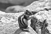 Moraine Lake chipmunk - HMBT! (karma (Karen)) Tags: bw canada topf25 monochrome animals dof bokeh alberta chipmunks morainelake canadianrockies banffnp cmwdbw canadanationalparks hmbt