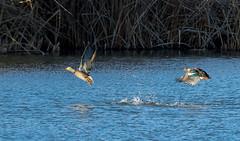 Female Mallard Duck (Gentilcore) Tags: birds nevada ducks birdsinflight mallard swanlake waterfowl anasplatyrhynchos greatbasin anatidae washoecounty lemmonvalley swanlakenaturestudyarea nevadaimportantbirdarea