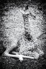 Baby Giraf (♥siebe ©) Tags: baby animal zoo rotterdam blijdorp 1month dierentuin 2014 giraf
