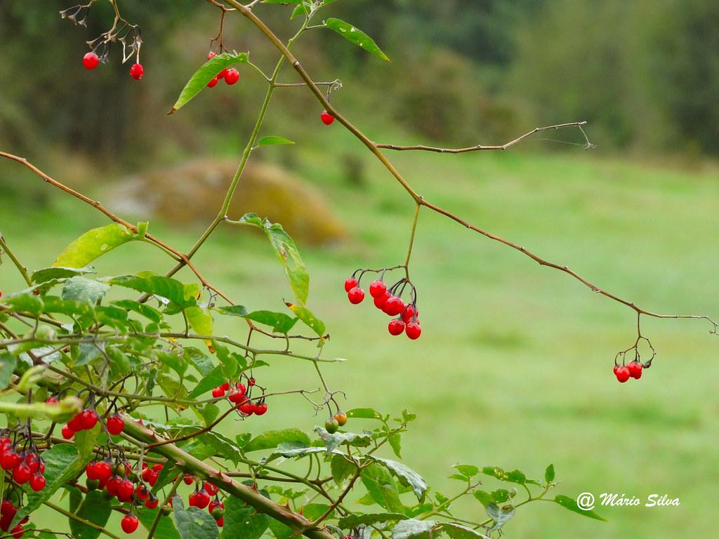 Águas Frias (Chaves) - ... bagas vermelhas em dia de outono ...