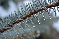 spruce drops (...Gail...) Tags: water drops fir raindrops needles spruce 115for2015