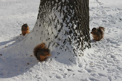 Squirrels in the Snow at the University of Michigan (January 6, 2015) (cseeman) Tags: squirrels annarbor michigan animal campus universityofmichigan umsquirrels01062015 winter eating peanut snow cold snowing januaryumsquirrel gobluesquirrels umsquirrel foxsquirrels easternfoxsquirrels michiganfoxsquirrels universityofmichiganfoxsquirrels
