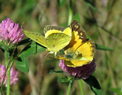Orange Sulphurs Flirting (Trish Overton) Tags: butterfly butterflies in orangesulphur evansvillein orangesulphursflirting