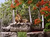 The King's Gaze (PelicanPete) Tags: red tree male rock proud king dad unitedstates plateau framed blossoms lion pride calm boulder shade bloom handheld lounging elevated theking bigcats mane southflorida naturalpose africanlion miamiflorida pantheraleo kingofthejungle royalpoinciana largepaws diamondclassphotographer flickrdiamond newcubs zoomiami dmslair 1214yrsinthewild 20yearsincaptivity thekingsgaze