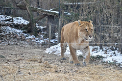 Liger (mikoislegendary) Tags: park brown animal zoo tiger lion korea seoul liger everland
