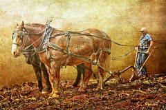 "Plowing....(Explored) (Patlees) Tags: horses texture rural nc farmer plowing dogma tuesday"" ""textural"