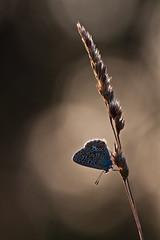 IMG_7660 (adrien.pcctt) Tags: papillon insecte argusbleu