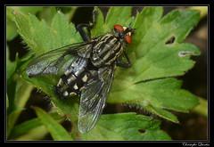 Sarcophaga sp. (cquintin) Tags: arthropoda diptera sarcophaga sarcophagidae macroinsectes