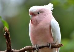 009e cockatoo-- tickled pink (jjjj56cp) Tags: pink portrait nature birds beak feathers aves cockatoo cincinnatizoo jennypansing