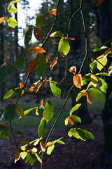 Lumire tombante (Jean-Adrien Morandeau) Tags: autumn automne soleil lumire fort couchant