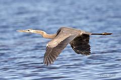 Great Blue Heron (Ardea herodias) (Frank Shufelt) Tags: usa birds florida wildlife aves northamerica titusville greatblueheron herons egrets merrittisland
