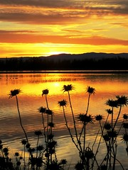 Thistles at Sunset (moonjazz) Tags: nature sillouette sunset california centralvalley sky photography lake peace thistle weeds chico wetlands flckr canon plants silhouette moonjazz gold