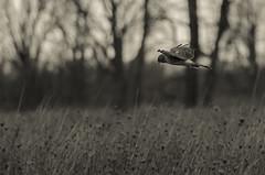 Northern Harrier (jsommer2) Tags: bird michigan northernharrier saginawcounty shiawasseenwr