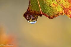 dans les vignes (gcmaus) Tags: nature arbre vigne effets 2014 designation gouttedeau slections couleuramontrer